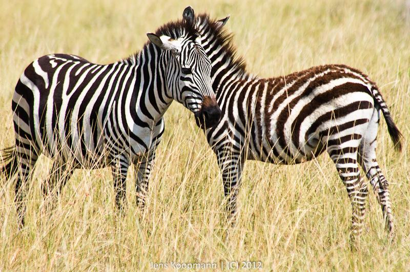 Fotografieren auf Safari | Stichwörter: Brennweite, Fotografie, fotografieren, fotos, ISO, Jeepsafari, Kenia, Objektive, Safari, Speicherkarten, Stativ, Südafrika, Tansania, Tele, Tips, Uganda | Kategorien: Portfolio, Testberichte / Tutorials, Tierfotografie, Tutorials