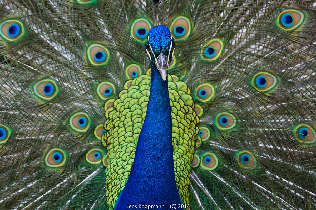 Alle (Pfauen )Augen auf mich gerichtet Tierfotografie