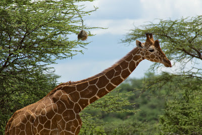 Samburu-02701.jpg