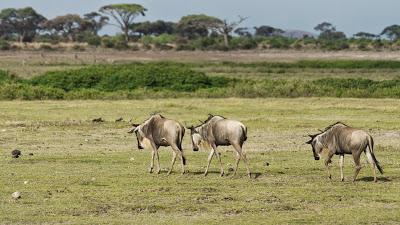 Amboseli-03345.jpg