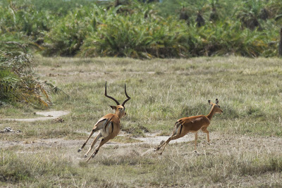 Amboseli-03532.jpg