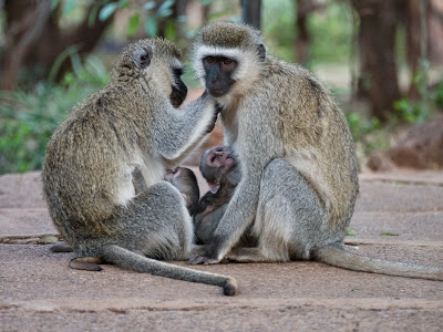 Amboseli-1130096.jpg
