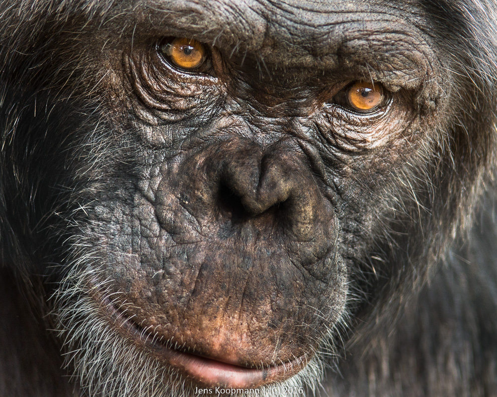 Pocos Blick | Stichwörter: Affe, Kenia, Menschenaffe, Ol Pajeta, Poco, Shimpanse | Kategorien: Portfolio, Tierfotografie