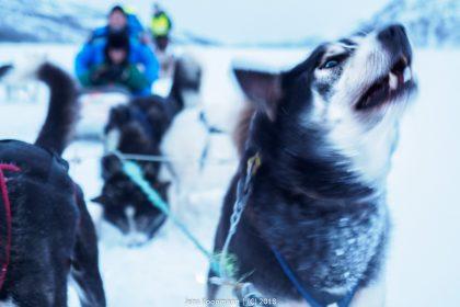 Mit der MS Lofoten auf die Hurtigrute – Teil 8: Abenteuer mit den Huskies