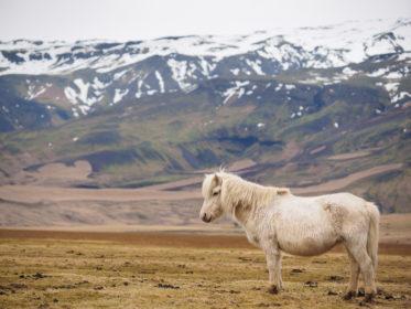 Island 2017 - Islands Pferde